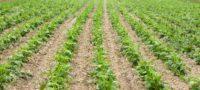 Candela se beneficia de lluvias a sus campos de sorgo y frijol.