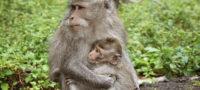 Cria de Mono