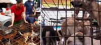 Victoria para los defensores de los animales; clausuran matadero de perros en Camboya