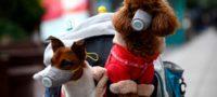 Dos perros contraen COVID-19 en Japón; humanos contagian a sus mascotas