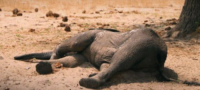 Una toxina generada por una bacteria fue la causante de centenares muertes de elefantes en Botswana