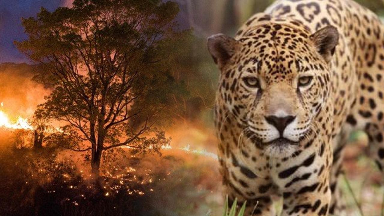 Más de 200 jaguares son afectados tras incendio forestal en parque de Brasil