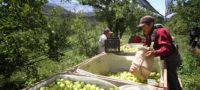 Vivero de plantas de manzano en Arteaga dará ahorros y mejor productividad
