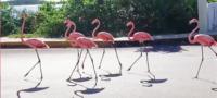 Parvada de flamencos camina en las calles de Yucatán tras huracán Delta