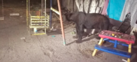 Baja oso negro a colonias de Múzquiz por alimento