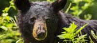 Sorprende oso a campistas en Sierra de Arteaga