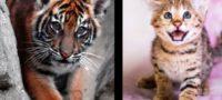 Pareja compra un felino en línea y recibe un tigre de Sumatra