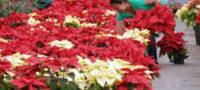 ¿Qué es y para qué sirve la Flor de Nochebuena? Conoce su historia y sus conceptos