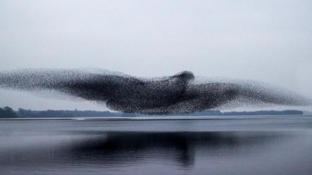 Fotógrafo capta la imagen de un ave enorme conformada por una parvada de pájaros