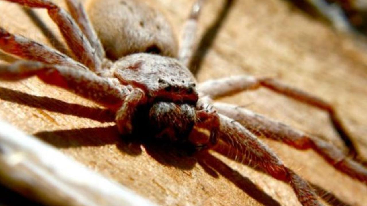 Australiano encuentra una araña gigante en la manija de su coche
