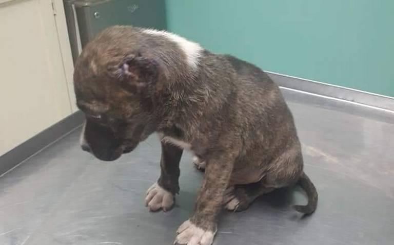 Niños coahuilenses mutilan las orejas de un cachorro Pitbull; alcanzarán dos años de prisión en Saltillo