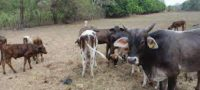 Mueren 55 cabezas de ganado ante la grave seguía en Castaños