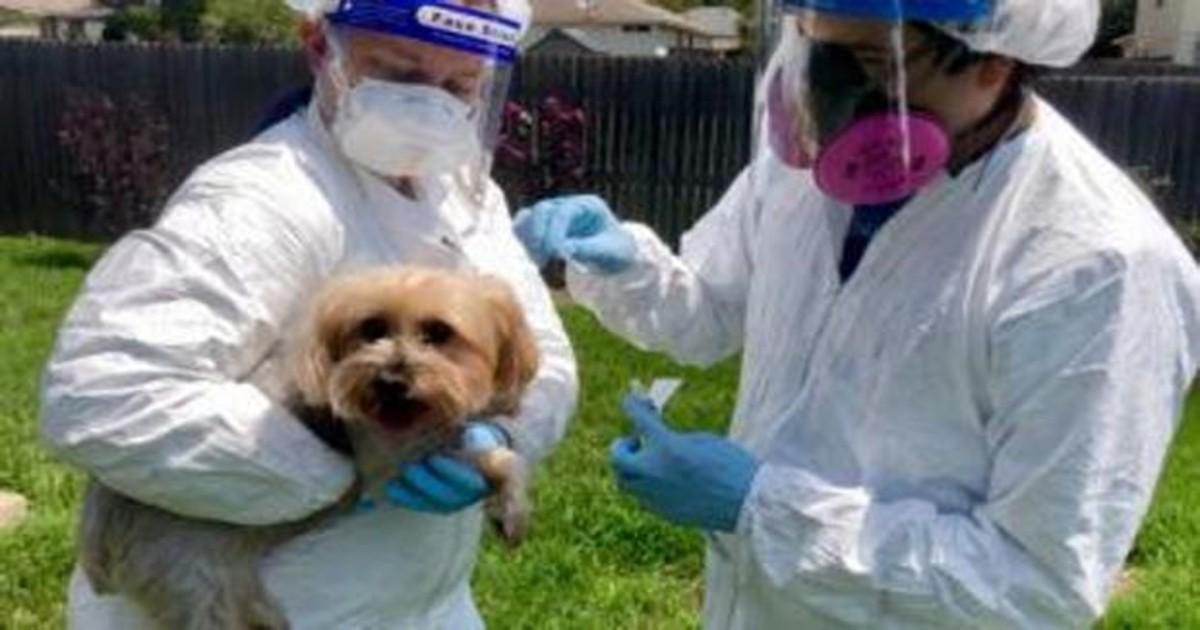 Los perros y gatos son vulnerables a la cepa británica del COVID-19; se transmite de humanos a mascotas