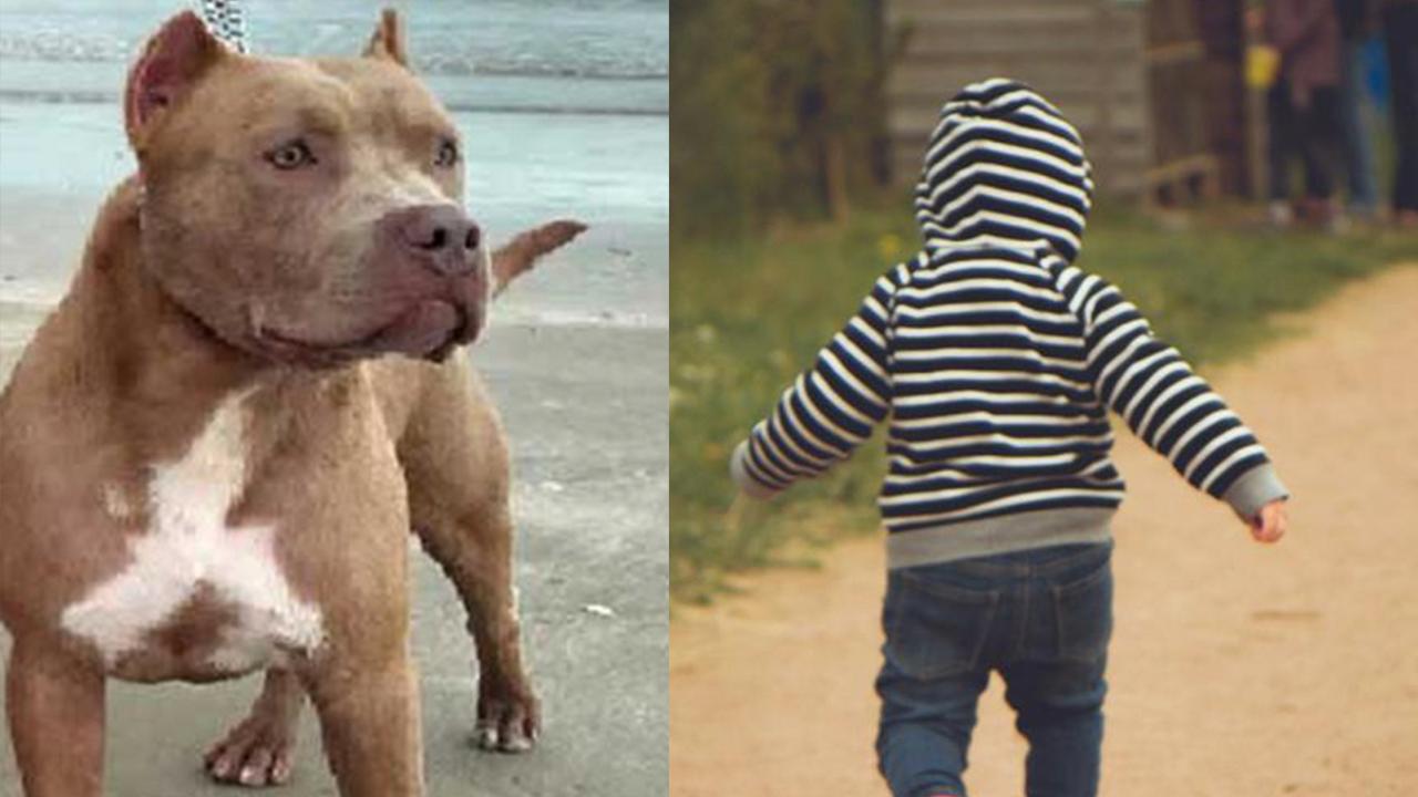 Perro Pitibull ataca a bebé de 3 años; lo mató a mordidas