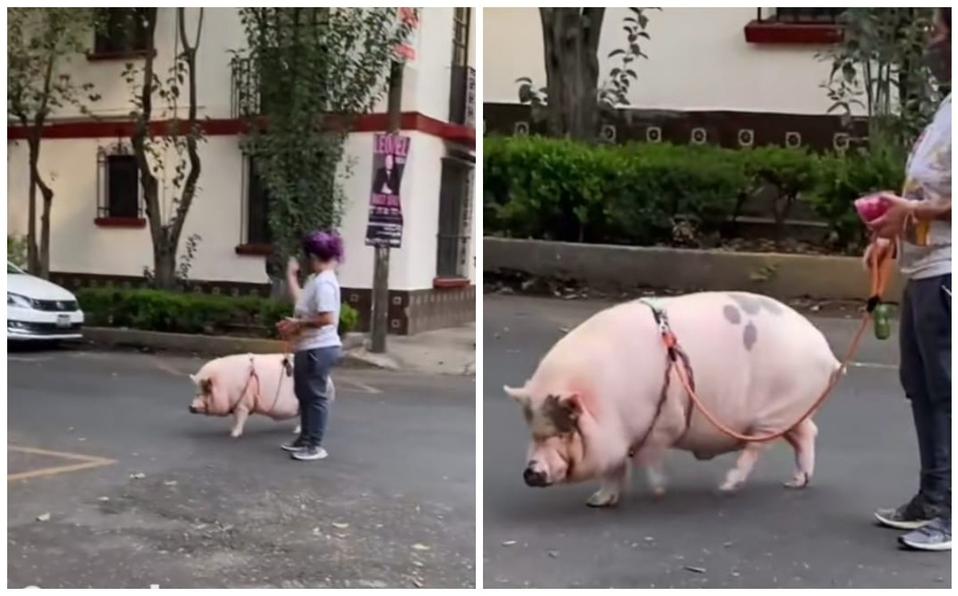 Mujer pasea en las calles con su peculiar mascota, un cerdito; captan video y se hace viral