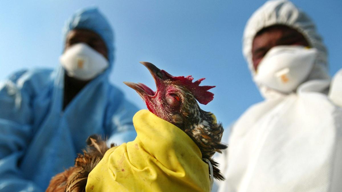 Investiga primera muerte por gripe aviar