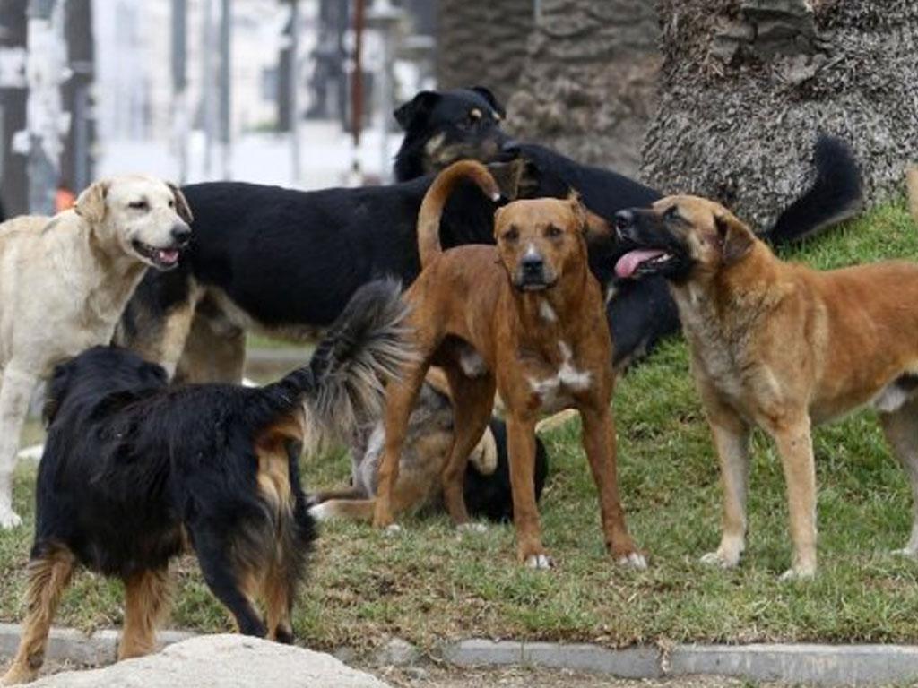 Niña de 13 años salió a caminar y ya no regresó: Jauría de perros la mató
