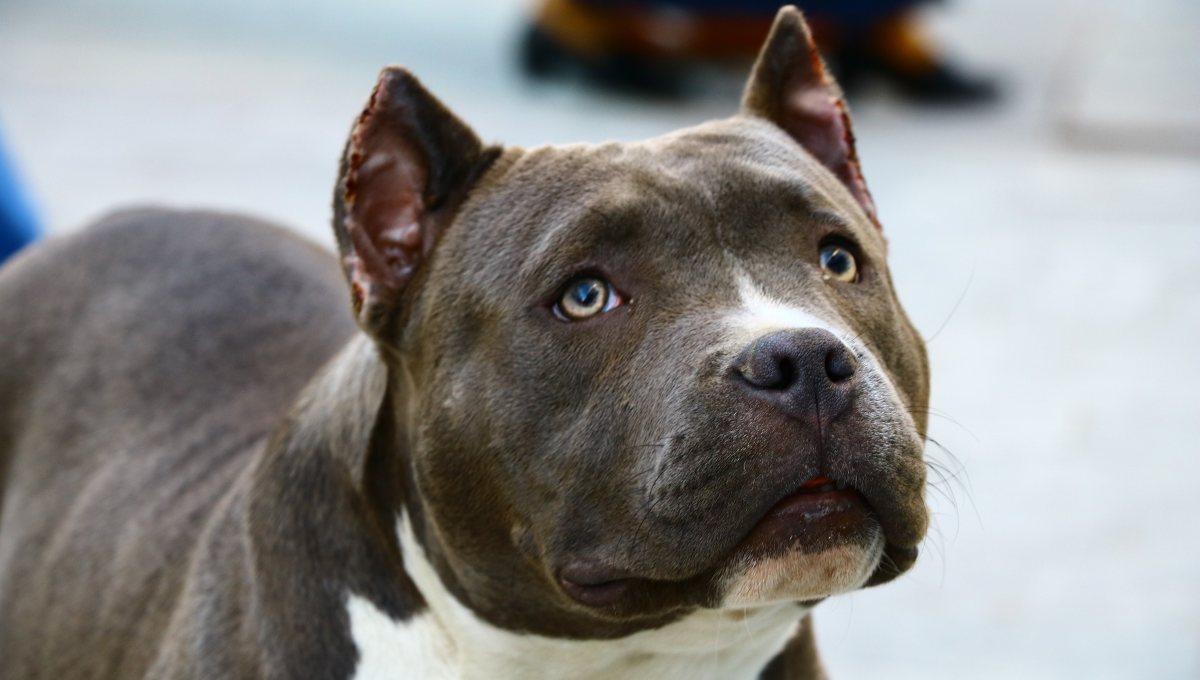 Muere niño de 3 años tras ser atacado por pitbull: No estaba bajo supervisión de sus padres