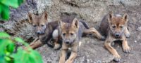Nace nueva camada de lobos mexicanos en el Museo del Desierto