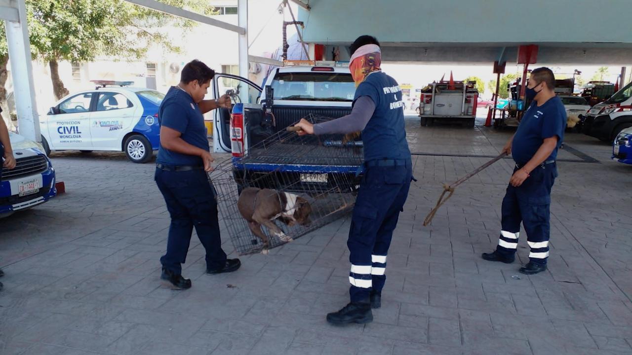 Ataca perro pitbull a niña de 6 años en Monclova; su estado de salud se reporta como grave y podría perder un ojo